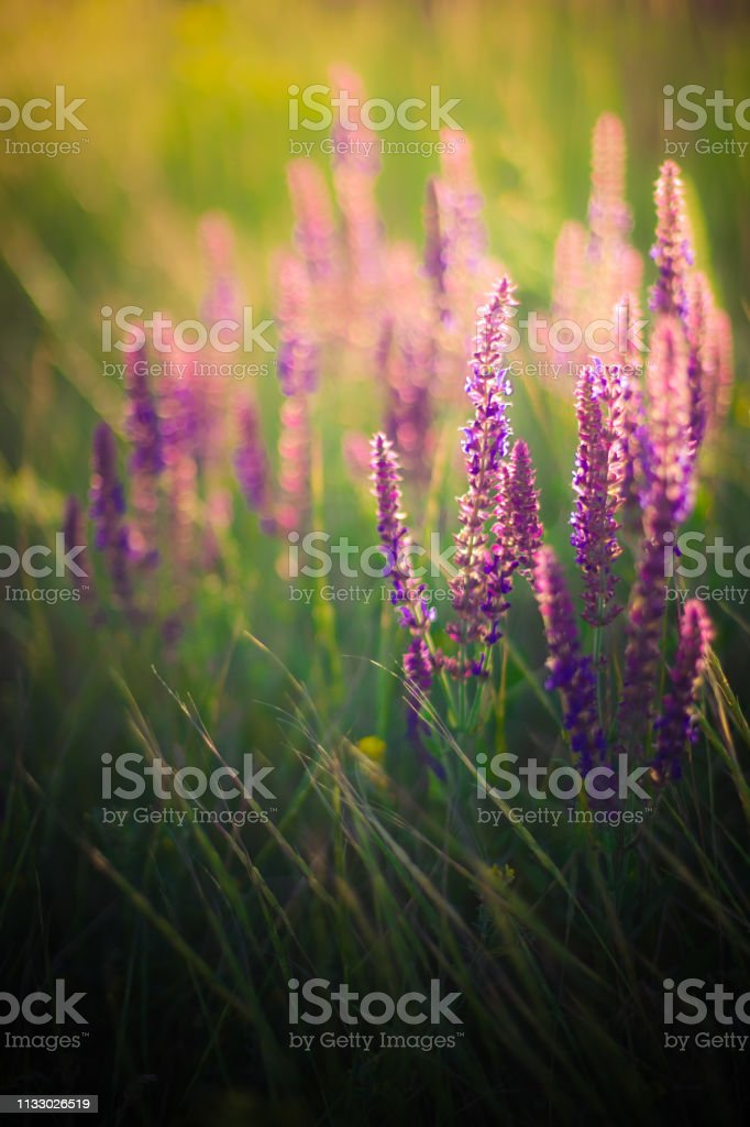 Lavender At Sunset Field Of Purple Flowers Stock Photo Download Image Now Istock