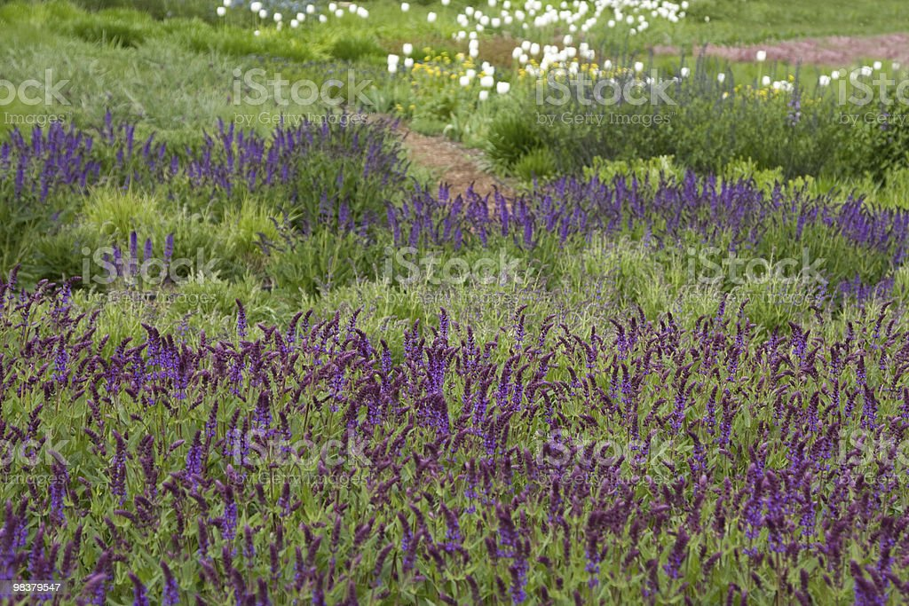 Lavender background royalty-free stock photo