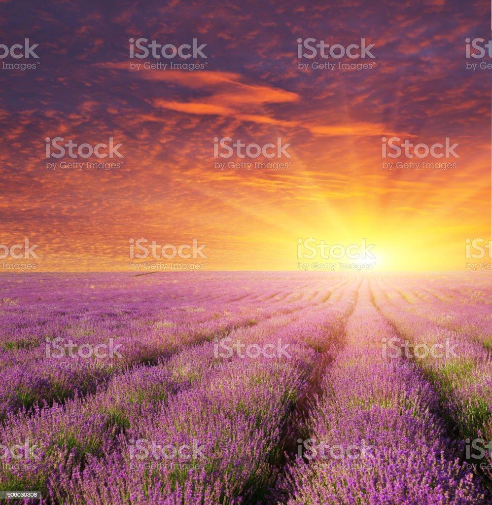 Lavendel schöne Wiese. – Foto