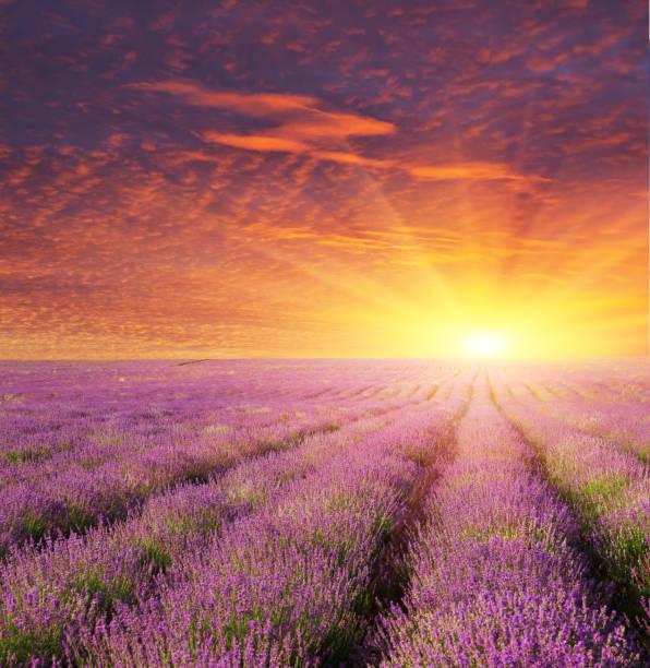 Lavender beautiful meadow. stock photo