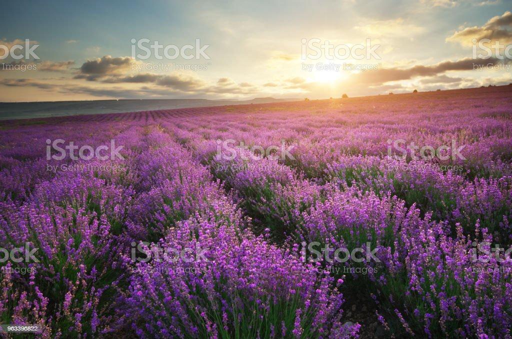Lavender beautiful meadow. - Zbiór zdjęć royalty-free (Bez ludzi)