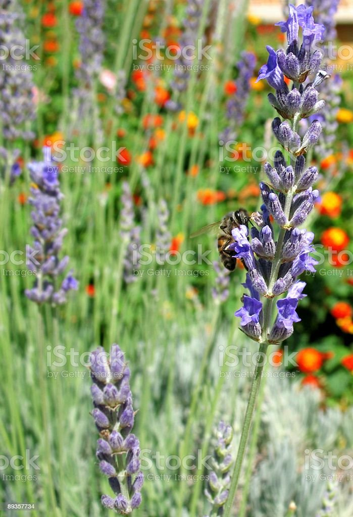 Lawenda & Bee zbiór zdjęć royalty-free