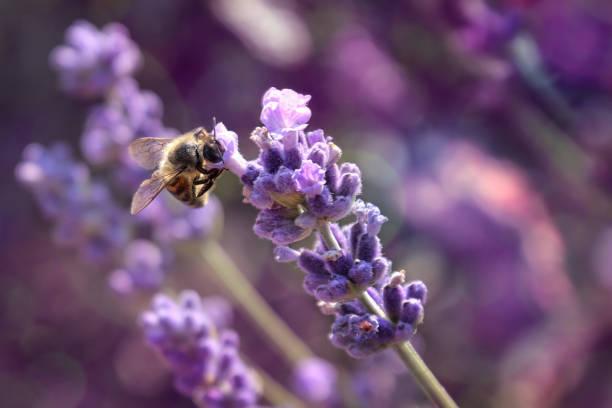 lavendel blomma med honungsbi - biologisk mångfald bildbanksfoton och bilder