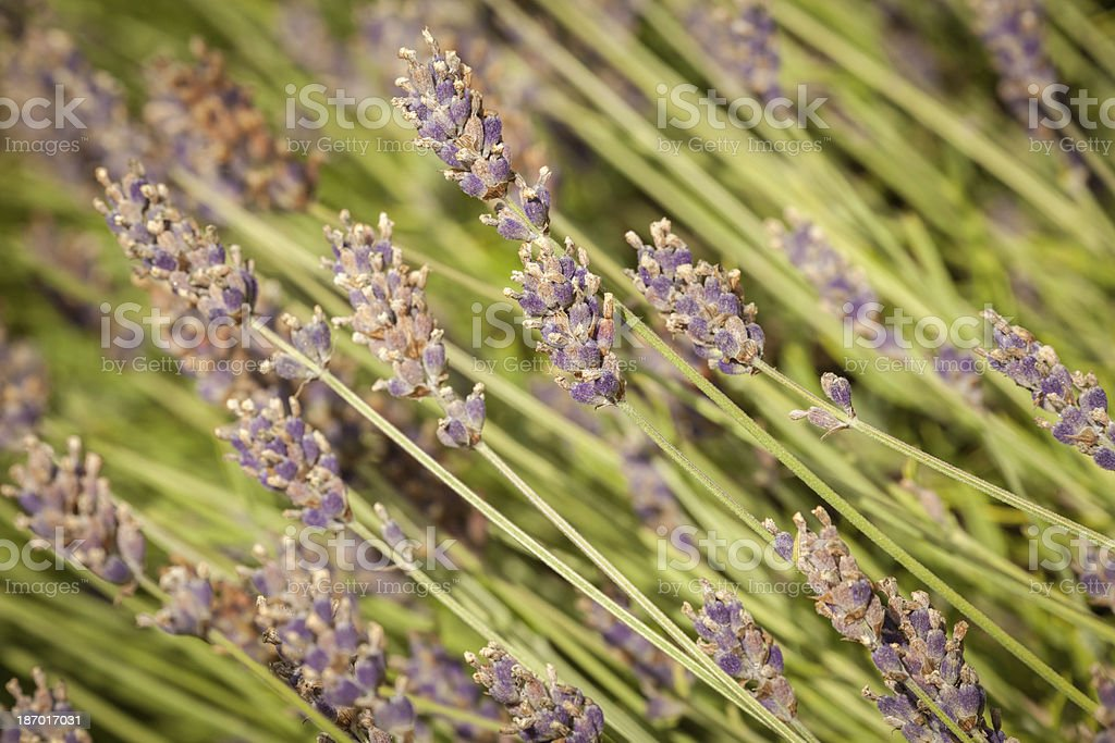 Lavender Blossoms stock photo
