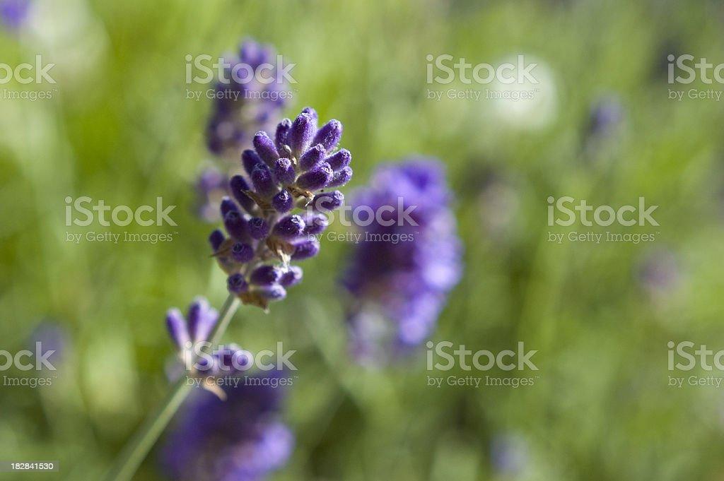 Lavender bud royalty-free stock photo