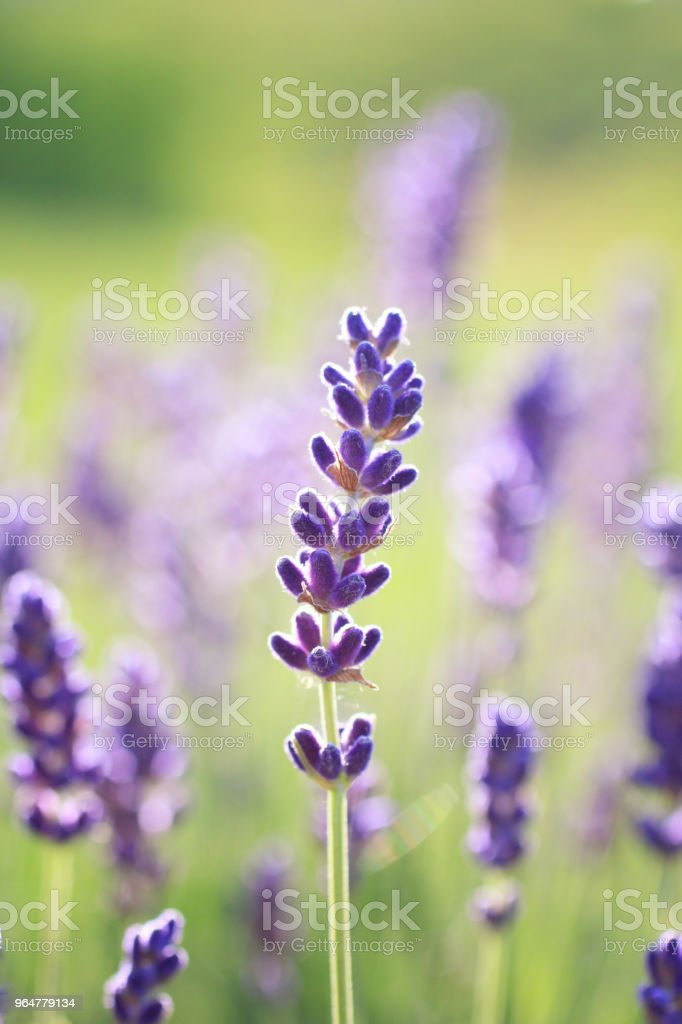 Lavender buds royalty-free stock photo