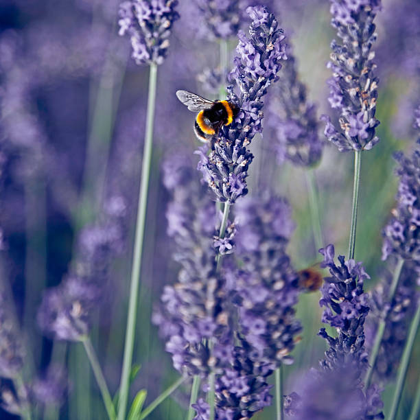 Lavender bumble bee stock photo