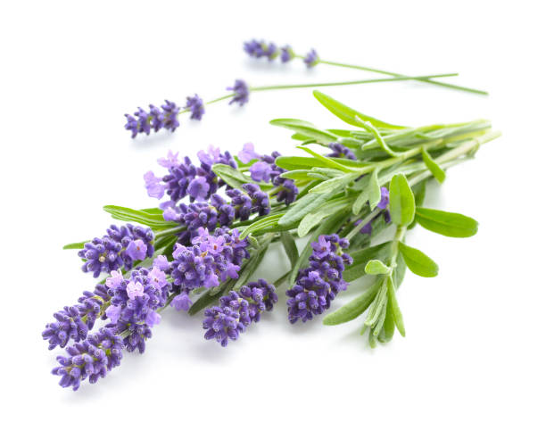 lavendel bos op een wit - lavendel stockfoto's en -beelden
