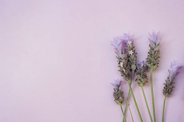 Lavender bunches stock photo