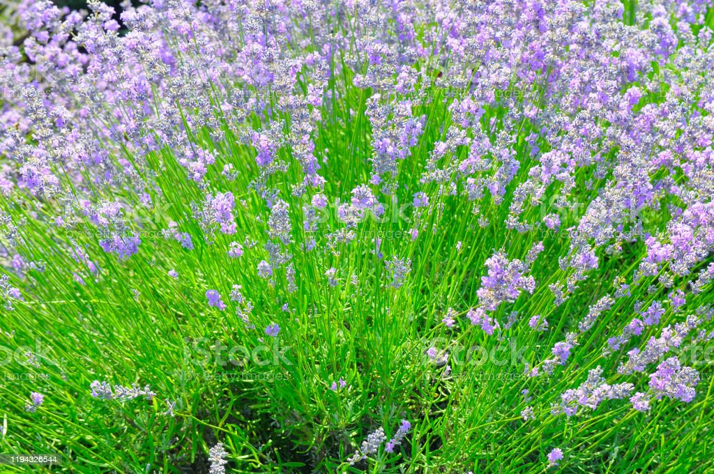 Lavender Bush With Bright Flowers Natural Background Stock Photo