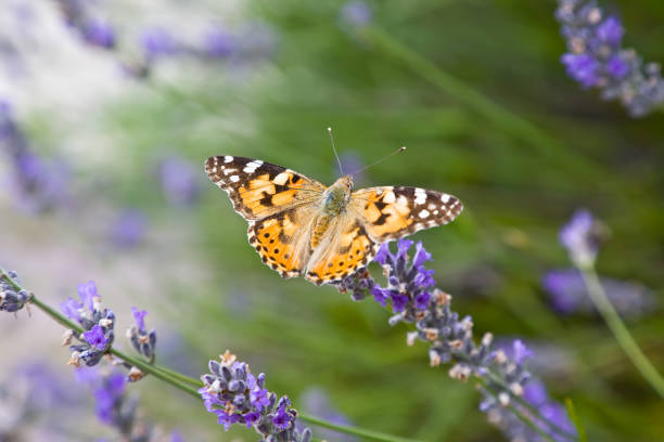 Lavender bushes with butterfly stock photo