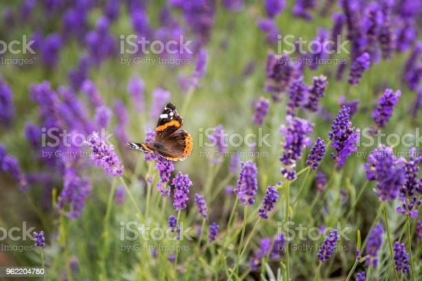 Lavender bushes with butterfly picture id962204780?b=1&k=6&m=962204780&s=612x612&h=7dzf1uaqgkribvy d0nweksvifuhcww ww1cczhlto4=