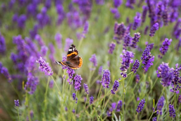 Lavender bushes with butterfly picture id962204780?b=1&k=6&m=962204780&s=612x612&w=0&h=bb4ykyqwupb 3tlfqzeqalfi3ximhccxrhhzwlr2eci=