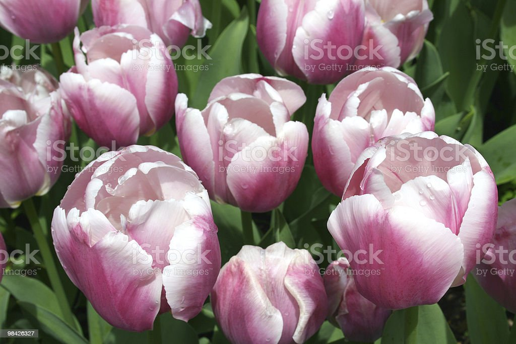Lavender Colored Tulips royalty-free stock photo