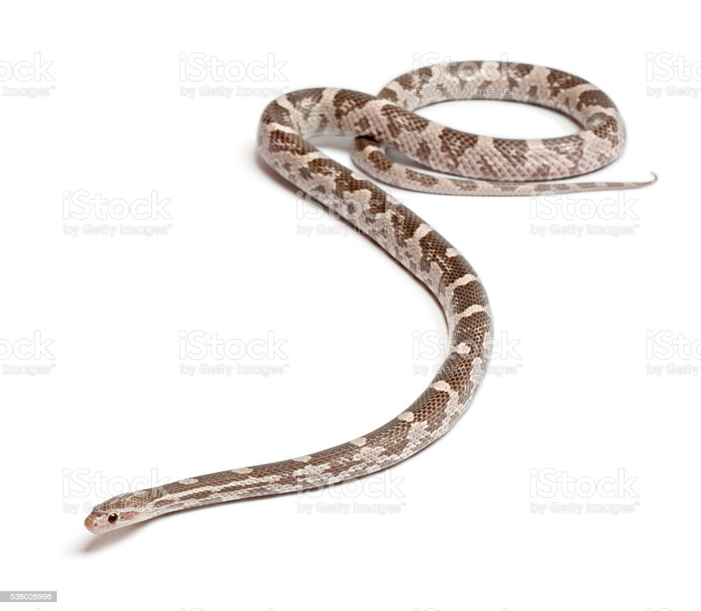 Lavender Corn Snake or Red Rat Snake, Pantherophis guttatus, stock photo