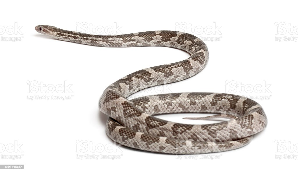 Lavender Corn Snake,Pantherophis guttatus, in front of white background stock photo