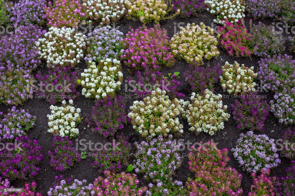 Lavender fall background on a rainy day stock photo