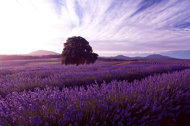 lavender farm at nabowla, tasmania, australia - tasmania stock photos and pictures