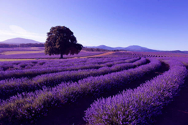 Lavender Farm at Nabowla, Tasmania, Australia stock photo