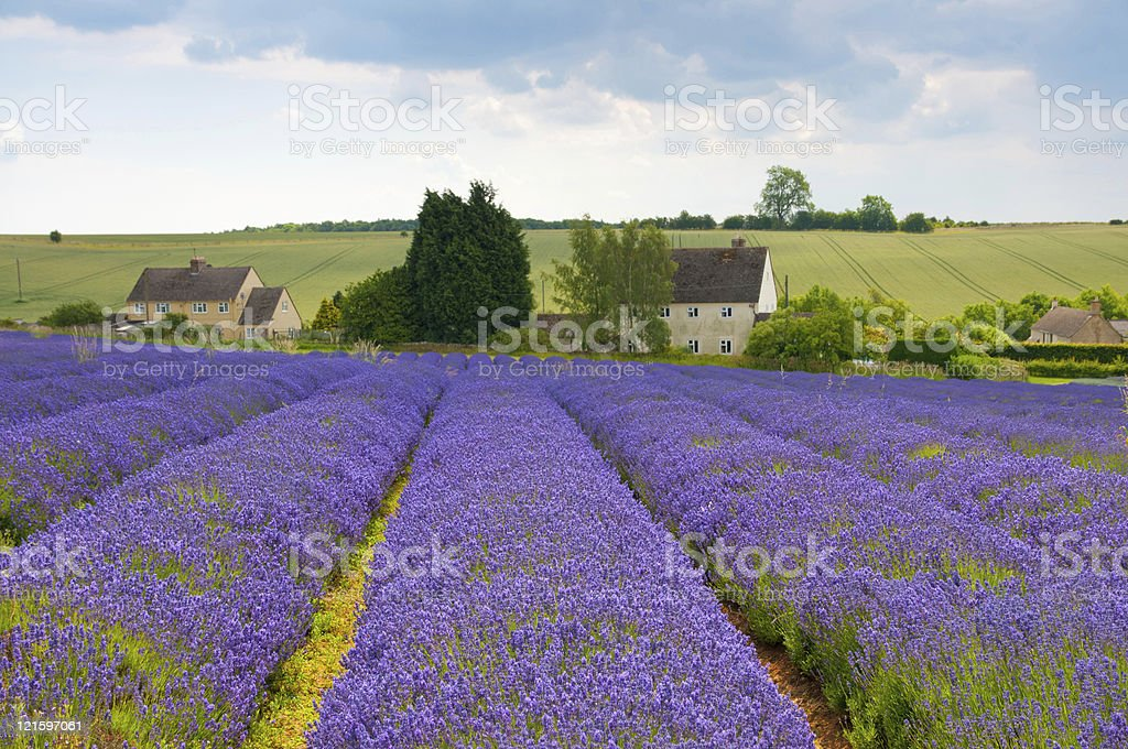 Lavender farm royalty-free stock photo