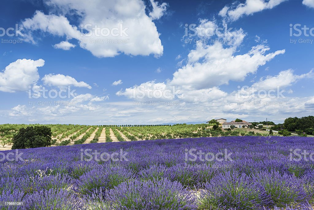 Lavender field and olive trees royalty-free stock photo