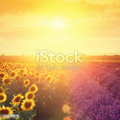 Lavender field and sunflowers at sunset. Location: Plateau De Valensole, Provence, France