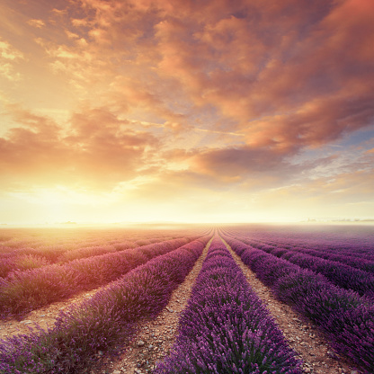Lavender field at dawn. Location: Plateau De Valensole, Provence, France