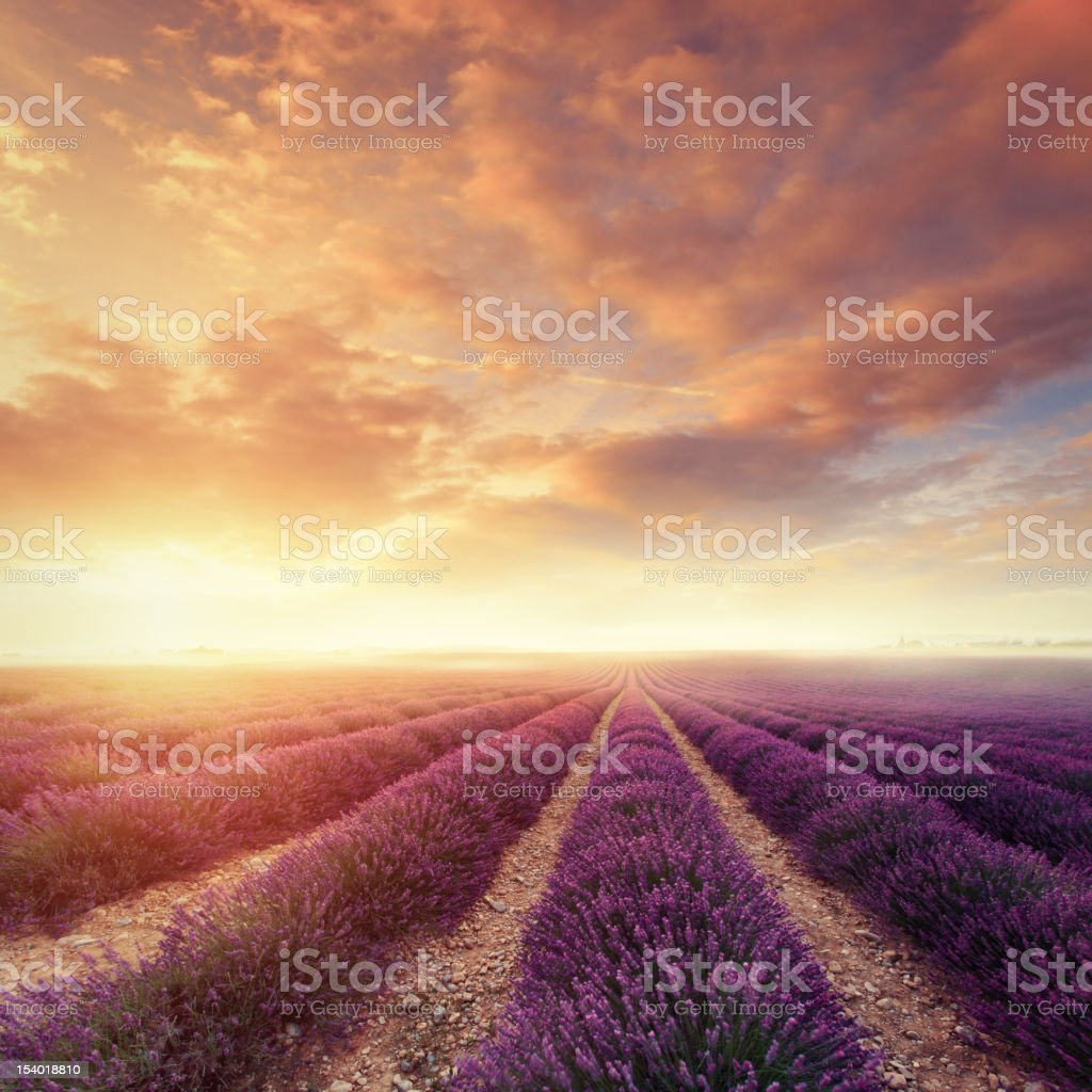 Lavender field at dawn stock photo