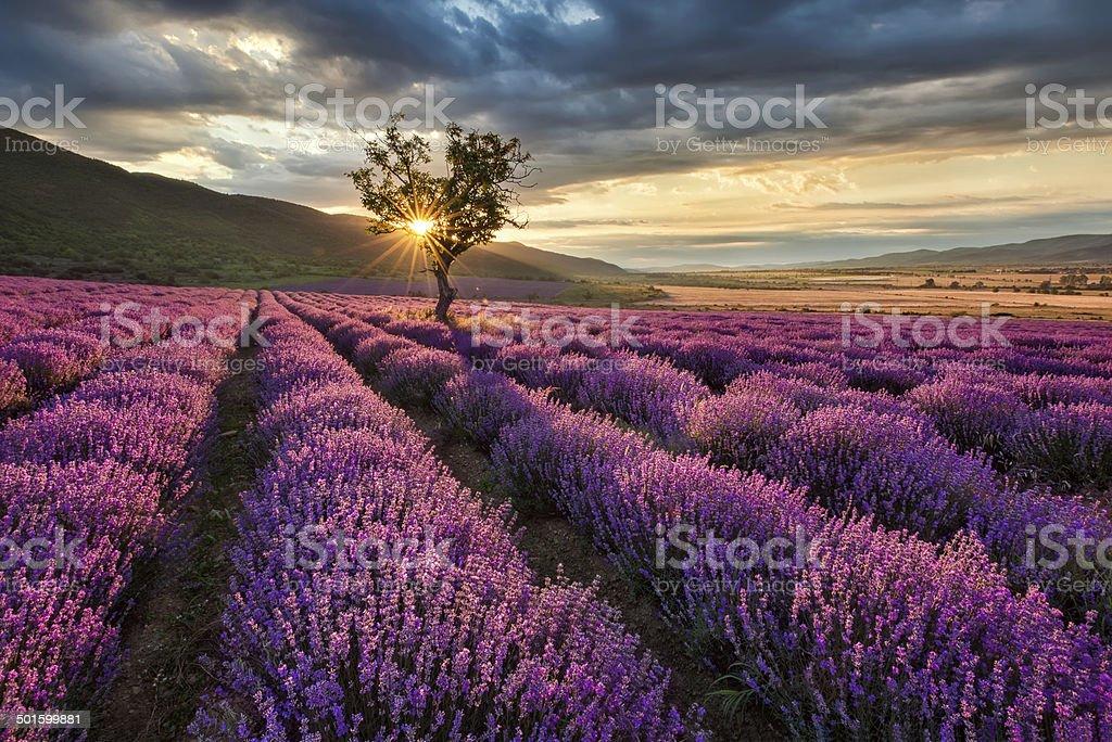 Lavender field at sunrise stock photo