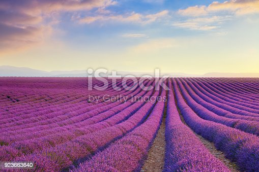 istock Lavender field at sunset in Provence, France 923663640