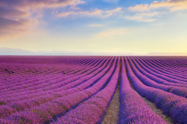 Lavender field at sunset in Provence, France stock photo