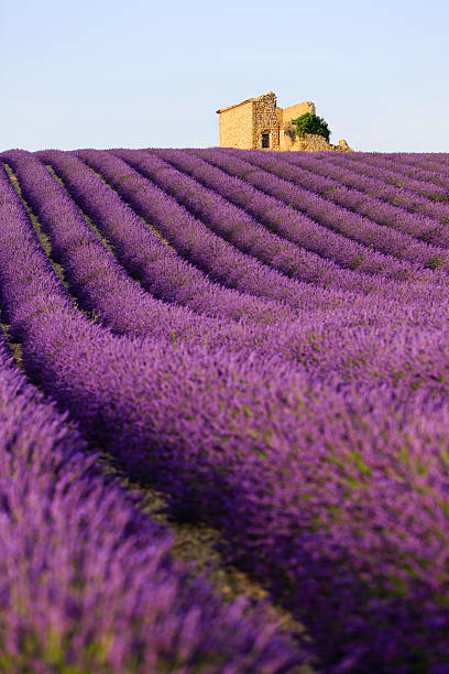 lavender field at sunset fields of blooming lavender flowers - Provence, France provence alpes cote d'azur stock pictures, royalty-free photos & images