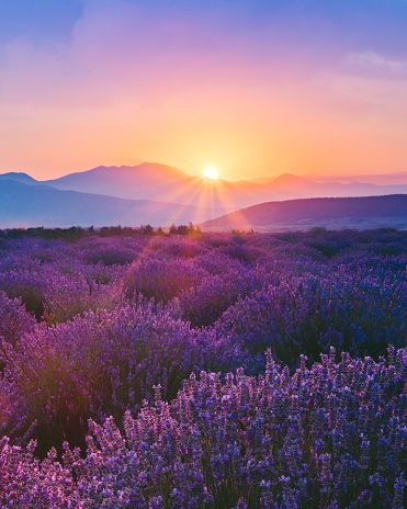 The Lavender farm in Aegean Region, Turkey with setting sun giving sunburst from behind a mountain