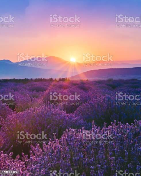 Lavender field at sunset picture id998390080?b=1&k=6&m=998390080&s=612x612&h=opardj087mu2jinoynerwsvc8kshsvxpq7gmhlrltvc=