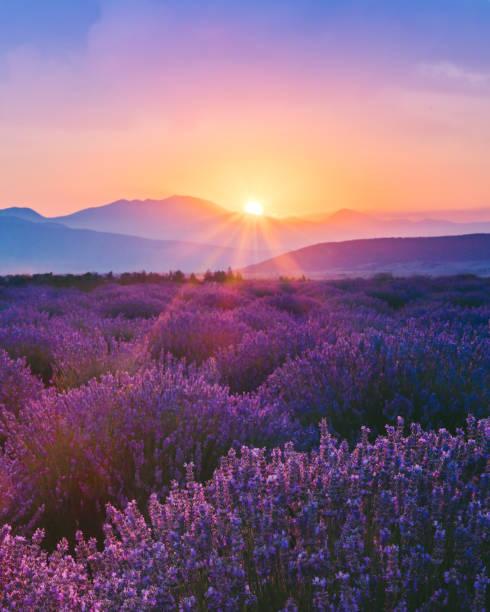 Lavender field at sunset picture id998390080?b=1&k=6&m=998390080&s=612x612&w=0&h=pqdgtjctwr8nsrlr6sd0j 3fpjphwjw2kfar3wrecgg=