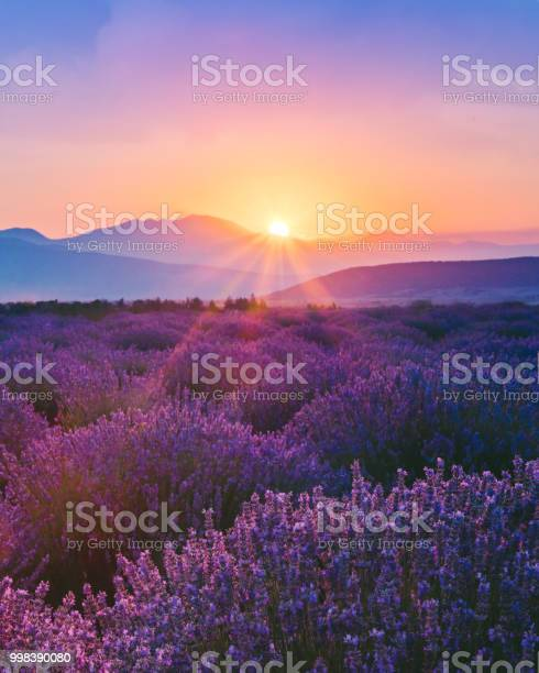 Photo of Lavender field at sunset