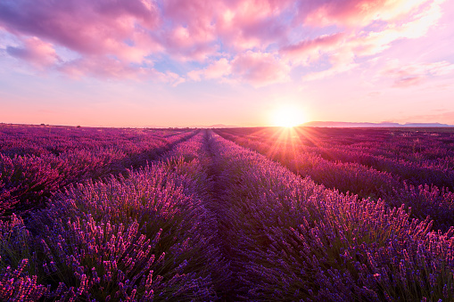 Lavender field at sunset, Provence, amazing landscape with fiery sky, France