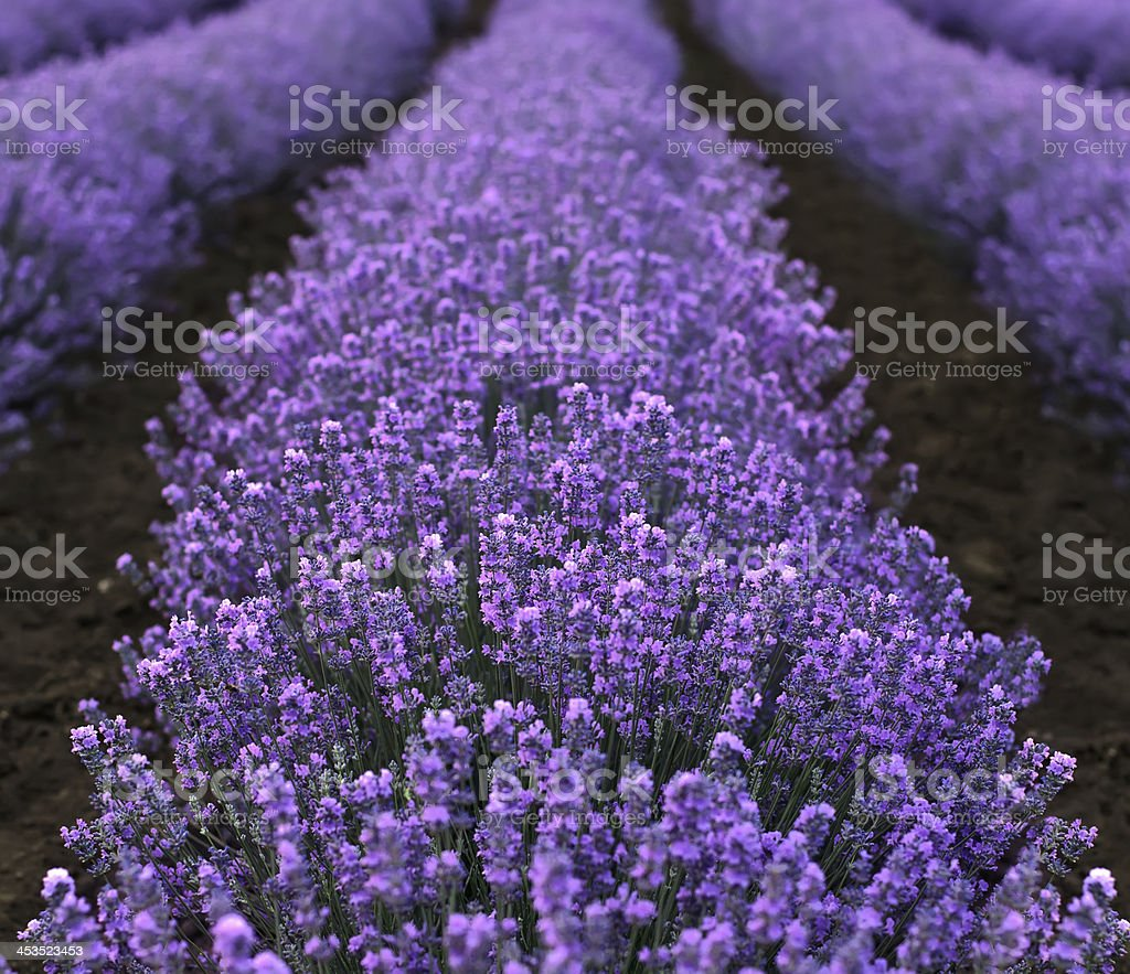 Lavender Field closeup royalty-free stock photo