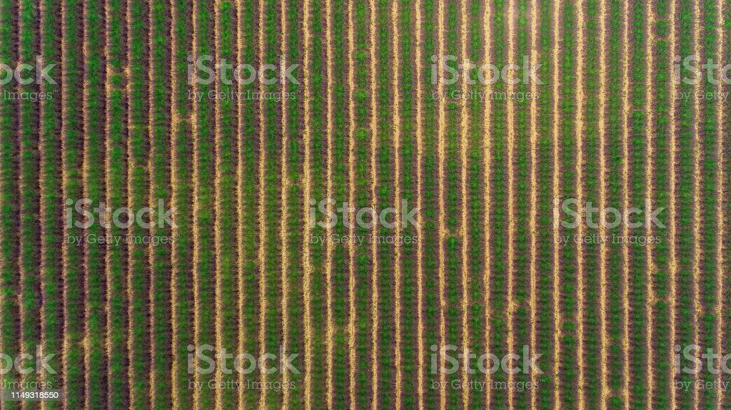 Beautiful lavender field from above