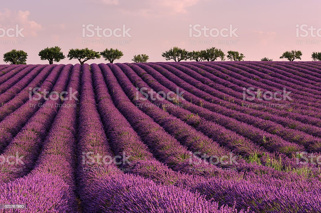 Lavender field in French Provence - nature background