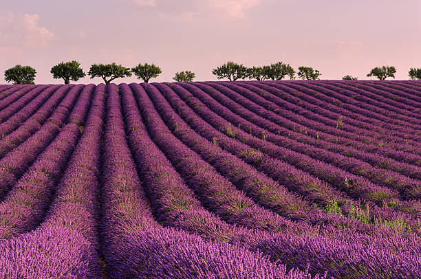 Lavender field in French Provence - nature background stock photo