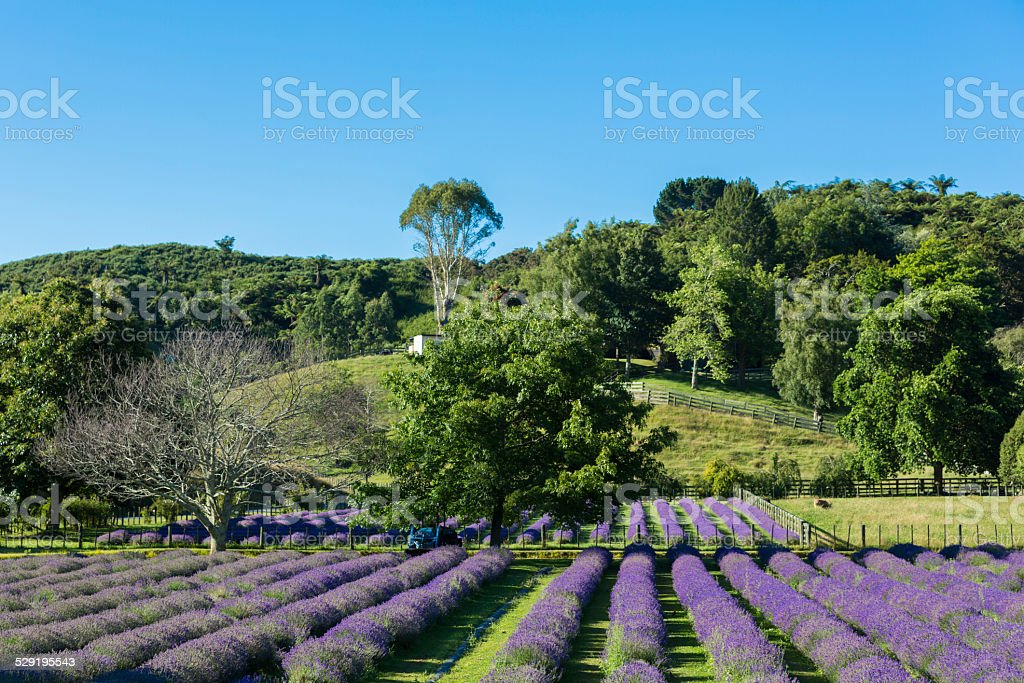 Lavender Field in New Zealand stock photo