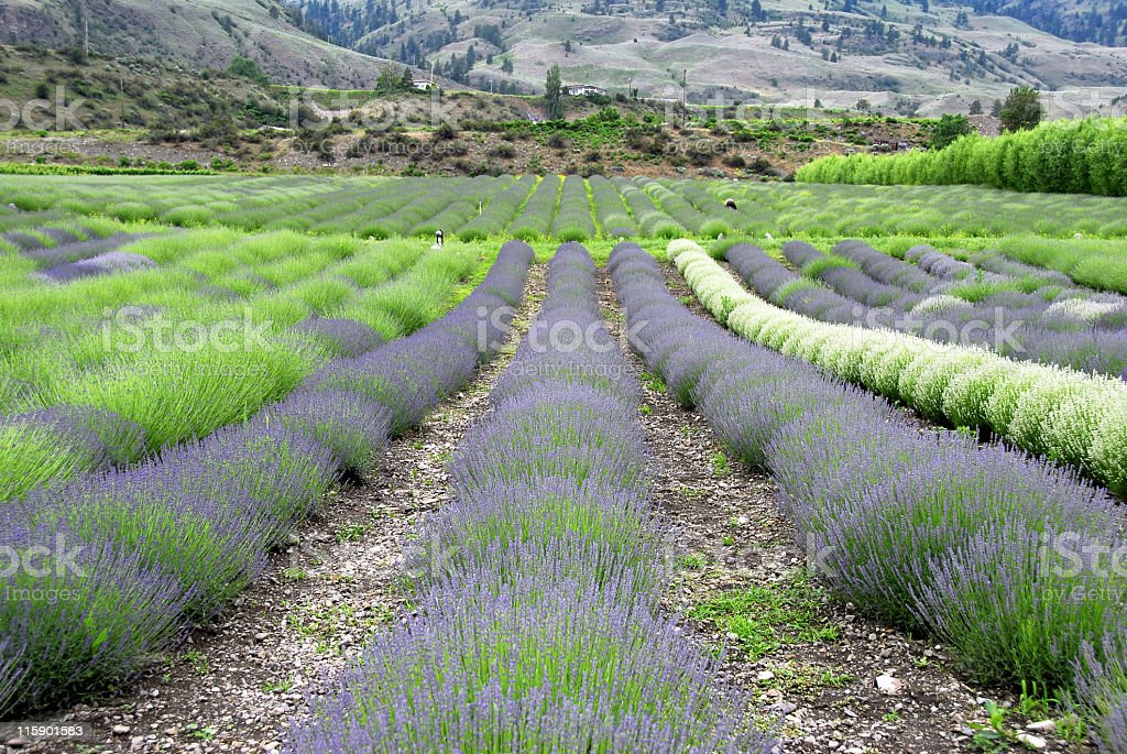Lavender field in Osoyoos royalty-free stock photo