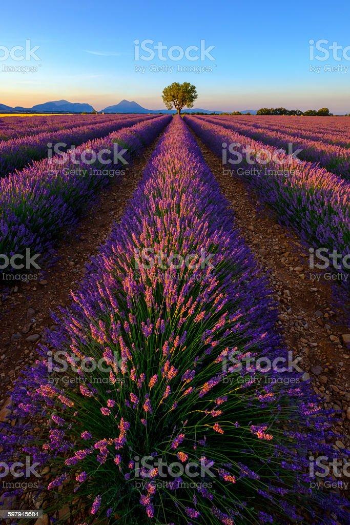 Lavender field in plateau Valensole foto royalty-free