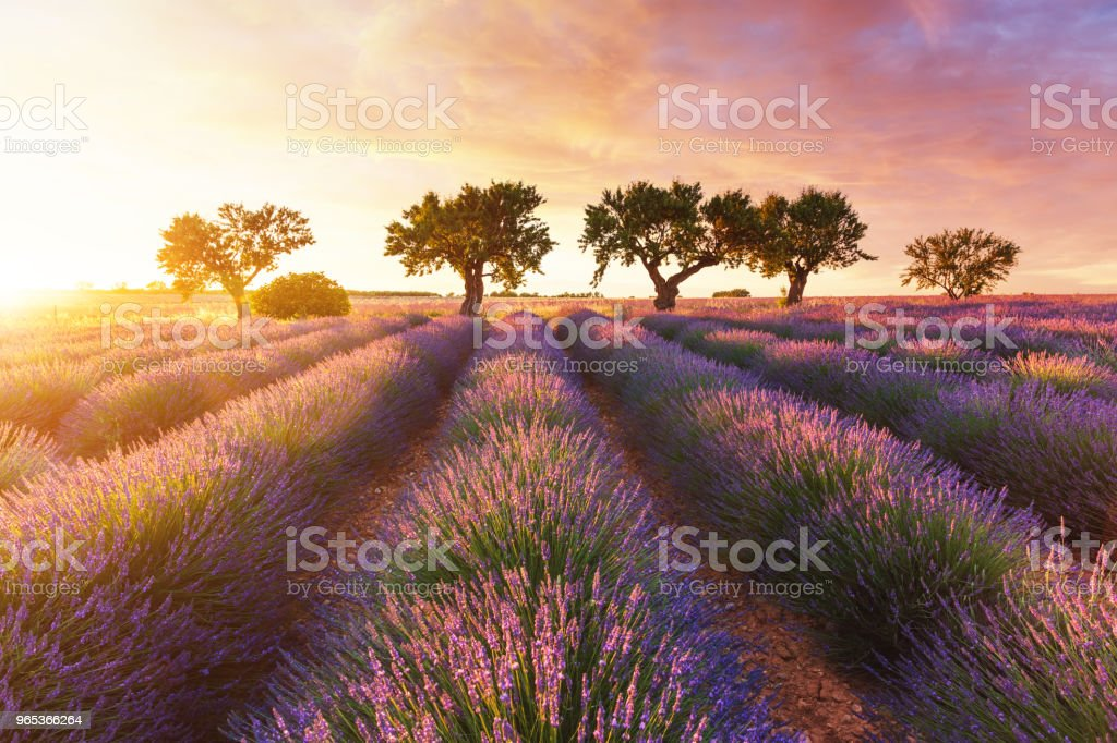 Lavender field in Provence during sunset royalty-free stock photo