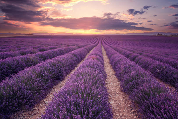 lavender field in provence, france (plateau de valensole) - field stock photos and pictures