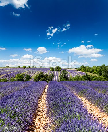 istock Lavender field in Provence, France 955977386