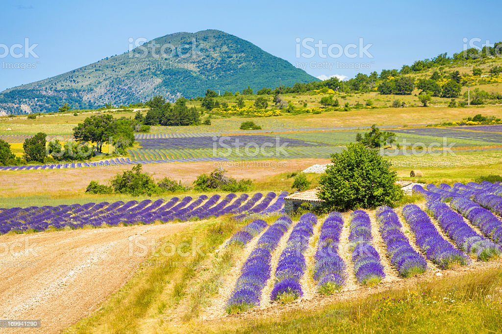 Lavender field in Provence royalty-free stock photo
