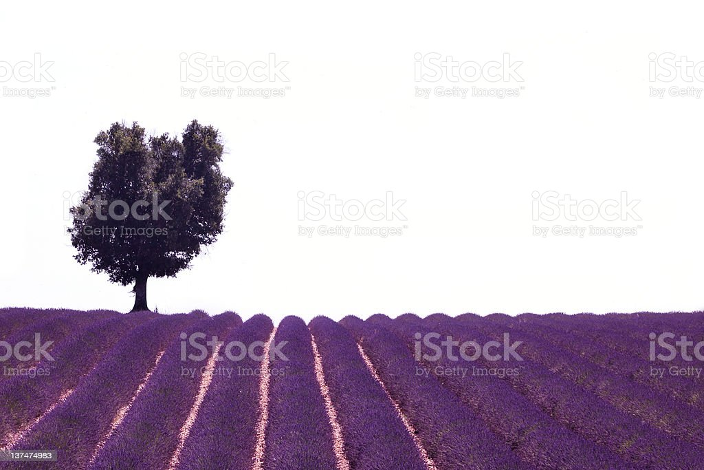 Lavender field in Provence,France and lonesome tree royalty-free stock photo