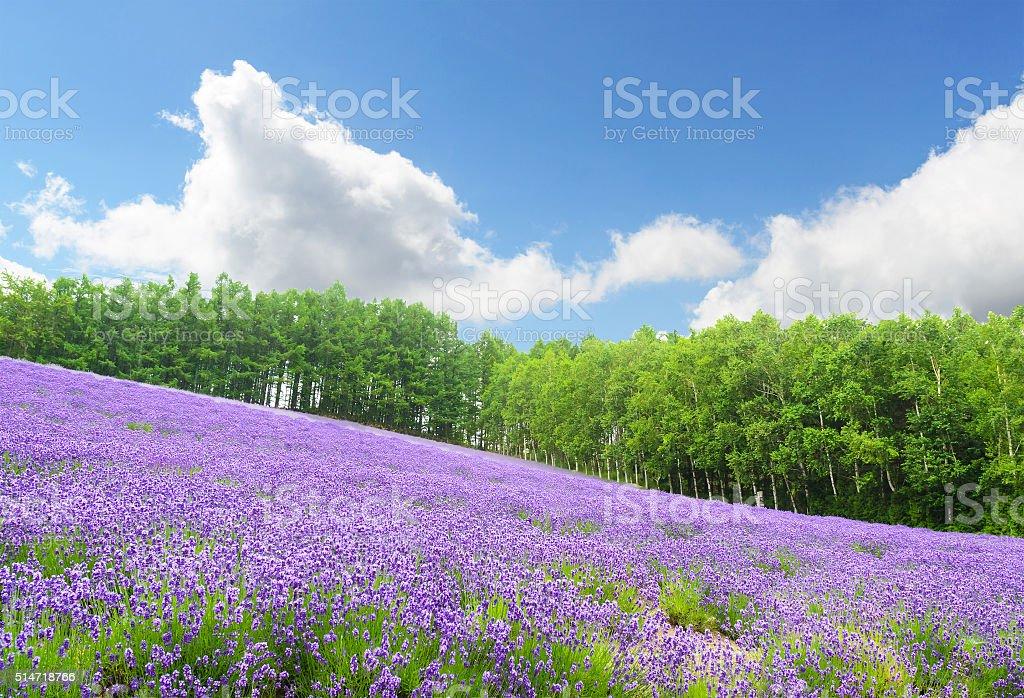 Lavender field in summer at furano hokkaido japan stock photo